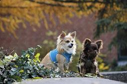 deux chiens chihuahua un blanc et un marron assis dans du lierre toxique pour le chien par coachcanin 16 educateur canin à angouleme