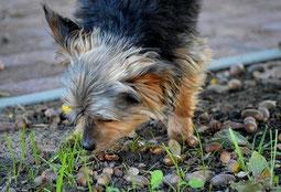 Un chien Yorkshire mange des glands dangereux pour sa santé par coach canin 16 educateur canin en charente