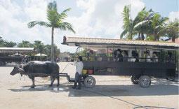 竹富観光センターが運行している水牛車=12日午後、同社前
