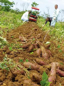紅イモの収穫作業が行われた宮良牧中の畑、大きなイモが土の中から顔を覗かせた