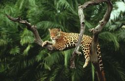 Jaguar im Amazonas-Gebiet