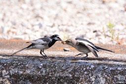 写真A:若鳥(右)に虫を与えるハクセキレイの親鳥