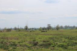 Büffelherde im Wiesenbrüterschutzgebiet