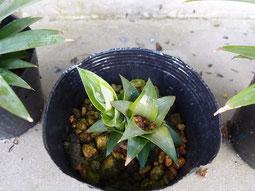 横から新しい芽が出てきたサマーゴールド