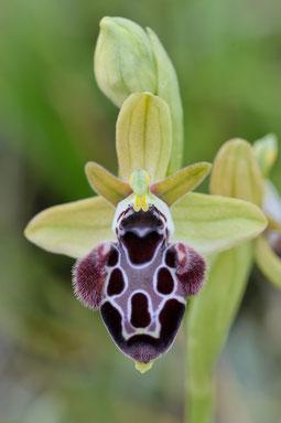 Kotschys Ragwurz (Ophrys kotschyi)