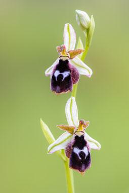 Reinholds Ragwurz (Ophrys reinholdii)