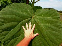 Blauglockenbaum Blatt