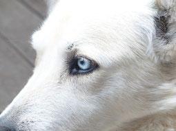 weißer Hund mit blauen Augen