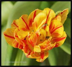 erste Tulpen blühen