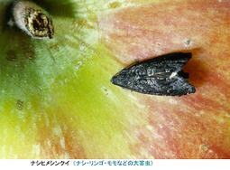 リンゴについたナシヒメシンクイ