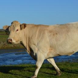 Capucine, Vache Blonde d'Aquitaine sur les marais d'Oléron GAEC GUINOT 17 310