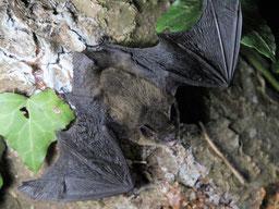 Zwergfledermaus Pipistrellus Abflug von Baum Fledermausschutz LBV Neu-Ulm