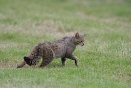 Le chat sauvage en Meuse