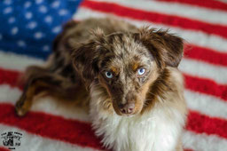 Bianca Fire and Ashes Miniature American Shepherds NRW Zucht