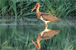 Schreitvögel und Kranichvögel