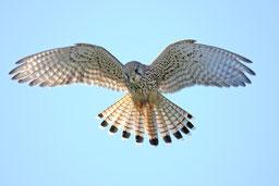 Falkenartige