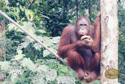 Die Orang-Utans auf Borneo