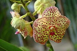 Vanda orchidee gepunktet
