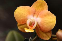 Phalaenopsis Hybride orange