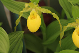 freilandfrauenschuh gartenorchidee