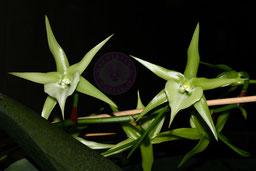 Angraecum sesquipedale Stern von Madagascar