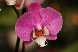 Phalaenopsis Hybride rosa