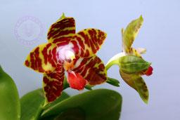 Phalaenopsis yaphone nice girl x zheng min thyranosaurus