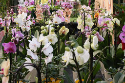 Phalaenopsis Orchideen