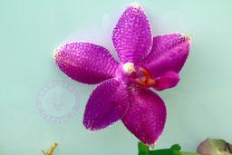 Phalaenopsis ho´s lovely amethyst