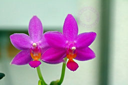 Phalaenopsis equalacea