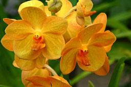 Vanda orange Orchidee