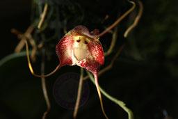 Dracula polyhemus Hawk Hill