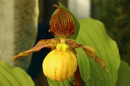 Cypripedium Gartenorchidee