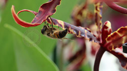 Biene auf Brassia