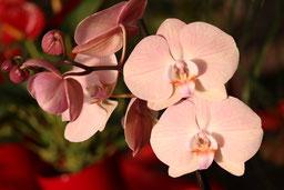 Phalaenopsis Hybride lachs