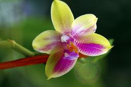 Phalaenopsis gelbfieber x Hawaii Dragon Girl