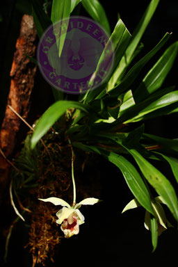 Cochleanthes