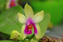 Phalaenopsis bellina v. fire