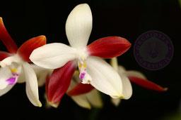 Phalaenopsis tetraspis C1