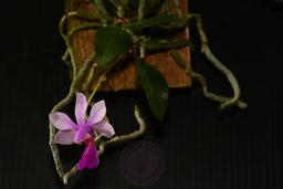 Phalaenopsis honghenensis