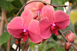 Phalaenopsis Hybride rot