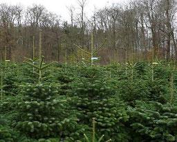 Weihnachtsbaumverkauf für Händler