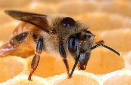 Un varroa sur une abeille, un parasite envahissant , porteur de maladie et meurtrier