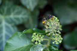 Un frelon asiatique, une menace pour l'abeille