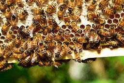 Des abeilles ouvrières sur un cadre de miel chez l'abeille villadéenne