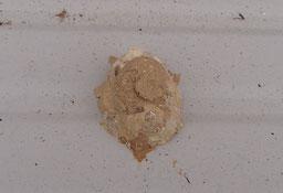 室外機の上 クロスジスズバチの巣