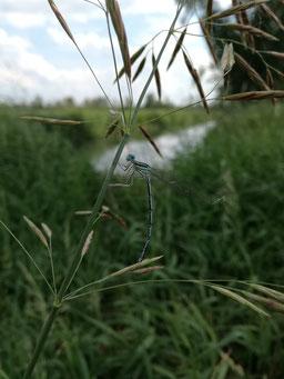 Spreewald Libelle