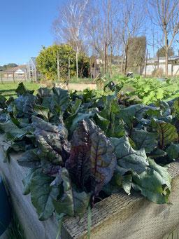 Vegetables in the winter sun edible garden.