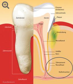 Zahn und Zahnhalteapparat