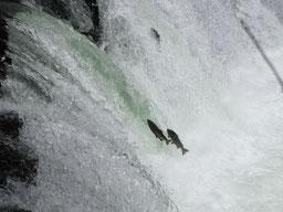 故郷に帰ってきたサクラマスが懸命にジャンプするさくらの滝